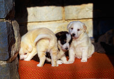 Beautiful adorable group of shepherd dog puppies in an outside shelter. Stock Photos