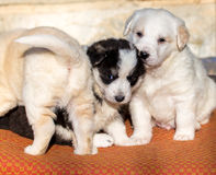 Beautiful adorable group of shepherd dog puppies in an outside shelter. Stock Images