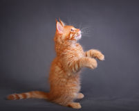 Beautiful adorable red solid maine coon kitten profile standing Royalty Free Stock Photos
