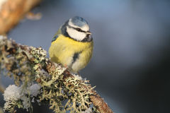 A beautiful adult Blue Tit Cyanistes caeruleus perched on a branch covered in lichen and a covering of snow. Royalty Free Stock Image