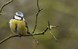 A beautiful adult Blue Tit Cyanistes caeruleus perched on a branch. Royalty Free Stock Photos