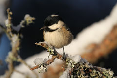 A beautiful adult Coal Tit Periparus ater perched on a branch covered in lichen and a covering of snow. Royalty Free Stock Photos