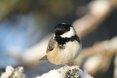 A beautiful adult Coal Tit Periparus ater perched on a branch covered in lichen and a covering of snow. Stock Images