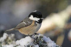 A beautiful adult Coal Tit Periparus ater perched on a branch covered in lichen and a covering of snow. Royalty Free Stock Photography