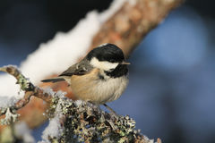 A beautiful adult Coal Tit Periparus ater perched on a branch covered in lichen and a covering of snow. Royalty Free Stock Images