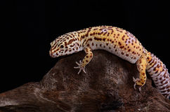 Female Bell albino leopard gecko (Eublepharis macularius) Stock Photography