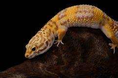 Female Tremper albino leopard gecko (Eublepharis macularius) Stock Image