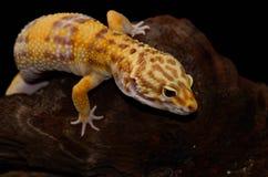 Female Tremper albino leopard gecko (Eublepharis macularius) Stock Images