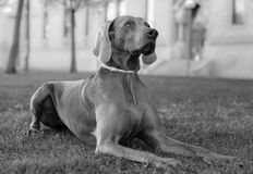A beautiful adult female Weimaraner dog. In black and white Stock Image