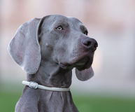 A beautiful adult female Weimaraner dog. In a blurry background Stock Photo