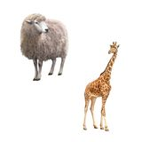 Beautiful adult Giraffe, Front view, Sheep looking. Beautiful adult Giraffe looking at us, illustration isolated on white Stock Photos