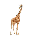 Beautiful adult Giraffe looking at us. Illustration isolated on white Stock Image