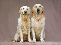 Beautiful adult Golden Retrievers Stock Image
