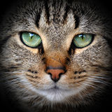 Beautiful adult gray tabby cat. Is on the black background Royalty Free Stock Photography
