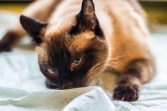 Beautiful adult intelligent Siamese cat sniffing diaper Stock Image