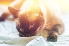 Beautiful adult intelligent Siamese cat sniffing diaper Royalty Free Stock Photo