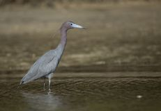 Little Blue Heron portrait stock images