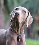 A beautiful adult male Weimaraner dog Stock Images
