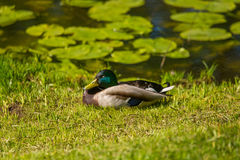 A beautiful adult mallard duck in the park. Sunny summer day Royalty Free Stock Images