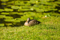 A beautiful adult mallard duck in the park. Sunny summer day Stock Image