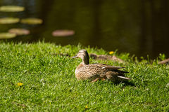 A beautiful adult mallard duck in the park. Sunny summer day Stock Photography