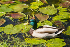A beautiful adult mallard duck in the park. Sunny summer day Stock Photos