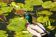 A beautiful adult mallard duck in the park. Sunny summer day Royalty Free Stock Image