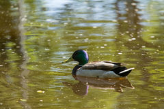 A beautiful adult mallard duck in the park. Sunny summer day Stock Photo