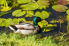 A beautiful adult mallard duck in the park. Sunny summer day Stock Images