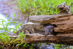Beautiful adult Mink sticking her head out of a log. Stock Photos