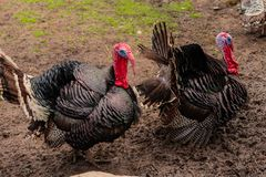 Beautiful adult multi-colored turkey-cock on the farmyard. Of a rural farm stock photography