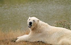 Polar Bear. Stock Photography