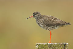 A beautiful adult Redshank Tringa totanus perched on a post. Royalty Free Stock Photography