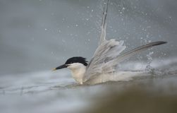 Sandwich Tern taking a bath. A beautiful adult Sandwich Tern takes a bath in the surf at Fort De Soto Park in central Florida Royalty Free Stock Image