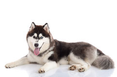 Beautiful adult siberian husky lying and looking Stock Photography