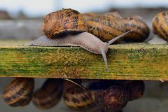 Beautiful adult snail farm on a wooden structure Royalty Free Stock Photography