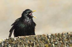 A beautiful adult Starling, Sturnus vulgaris, displaying and singing perched on a wall. stock photos