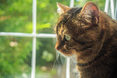 Beautiful adult striped tabby domestic cat sit by the window wit Stock Image