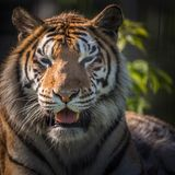 Beautiful adult tiger face Stock Image
