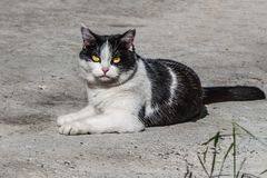 A beautiful adult young black and white cat with big yellow eyes is on the gray concrete background in a yard in summer. A beautiful adult young black and white stock image