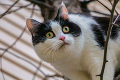 A beautiful adult young black-white cat with big yellow eyes and pink velvet wet nose scrambles on a tree. In the garden in autumn royalty free stock photos