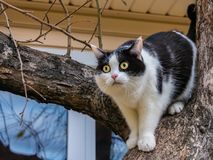 A beautiful adult young black-white cat with big yellow eyes and pink velvet wet nose scrambles on a tree. In the garden in autumn royalty free stock photography
