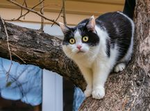 A beautiful adult young black-white cat with big yellow eyes and pink velvet wet nose scrambles on a tree. In the garden in autumn stock images