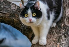 A beautiful adult young black-white cat with big yellow eyes and pink velvet wet nose scrambles on a tree. In the garden in autumn stock photo