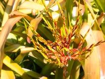A Beautiful Aechmea blanchetiana bright orange arching leaves with orange flower spike multi-branched inflorescence. Beautiful Aechmea blanchetiana bright stock photo