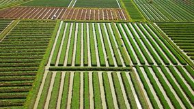Rows of red onion agricultural land. Beautiful aerial landscape of rows of red onion agricultural land and water irrigation with green leaves and farmers in stock footage