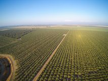 Beautiful aerial view of large almond orchard. On a California farm in summer. Drone image of rows of green almond trees Stock Photography