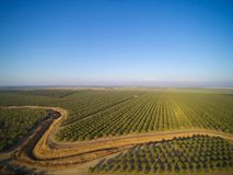 Beautiful aerial view of large almond orchard. On a California farm in summer. Drone image of rows of green almond trees Royalty Free Stock Photos