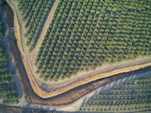 Beautiful aerial view of large almond orchard. On a California farm in summer. Drone image of rows of green almond trees Royalty Free Stock Image