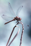 Beautiful aesthetic portrait of a dragonfly. Male Common Darter (Sympetrum striolatum) dragonfly in with wings splayed,  by bokeh against plain bluish background Stock Photo